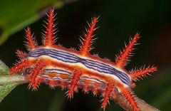 Rose Slug Caterpillar (ScreaminScott) Tags: caterpillar roseslugcaterpillar