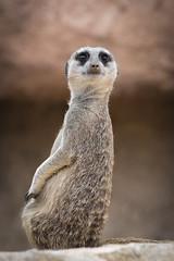 Suricate (éric landreau) Tags: suricate animal mammifère joli jardinzoologique faune nature fourrure alerte sauvage petit guet debout suricata garde désert yeux créature regarder regardant ericlandreau