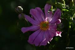 1-DSC_9771 my new Japanese anemone (profmarilena) Tags: japaneseanemone pinkjapaneseanemone pink macro closeup summer