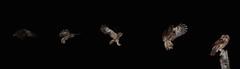Tawny Owl flight sequence (Matt Scott Wildlife Photography) Tags: tawnyowl owl bird birds aves flight flashphotography owls wildlife nature birdphotography