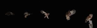 Tawny Owl flight sequence