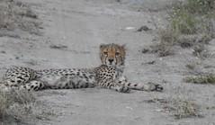 7845e  young cheetah on the road (jjjj56cp) Tags: cheetah youngcheetah inthewild shaba shabanationalreserve kenya africa safari africansafari evening lastlight road lounging resting bigcats feline carnivore spots spotted eyecontact parkroad p900 jennypansing dirt dirtroad