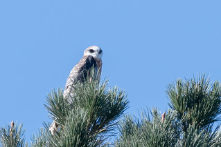 DSC_1145.jpg White-tailed Kite, Natural Bridges SB