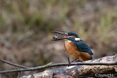 Martin Pêcheur d'Europe (jeanot94) Tags: commonkingfisher kingfisher eisvogel martinpescador martinpescatoreeurasiatico martinpescator