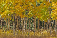 Aspen Abstract (garywitte845) Tags: aspen tree colorado fall gold yellow green abstract nature