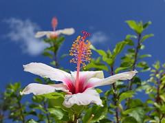Reach out (louise peters) Tags: hibiscus althea vhineseroos flower bloem stamen stamper meeldraden struik blue blauw sky green groen macro makro crete kreta
