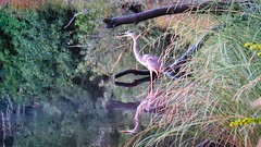 Blue Heron (Andrew Lincoln Photos) Tags: blue heron bird fowl nature reflection water