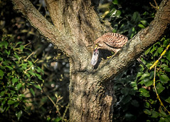 Kestral lunch delivered (Ruth S Hart) Tags: d300 kestral nesting lunch female ©ruthshart