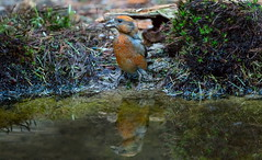 DSC05542rawcon_b (ger hadem) Tags: gerhadem veluwe eekhoorn kruisbek goudvink zwijn edelhert hubertus