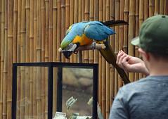 A Treat is Waiting (MTSOfan) Tags: macaw trick fundraiser fun bird epz