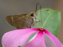 P8190136_RAW_43 (kentsang66) Tags: insect flower skipper butterfly hesperiidae 弄蝶