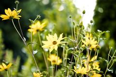 18-08-19 nah blümeer blü gelb bok sonauf  _dsc0066-1 (ulrich kracke (many thanks for more than 1 Mill vi) Tags: blütegelb blütenmeer bokeh nah sonnenaufgang