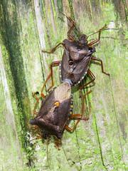 Forest Bugs, Talkin Tarn, 19 August 18 (gillean55) Tags: canon powershot sx60 hs superzoom bridge camera north cumbria brampton talkintarn hemiptera shieldbug forestbug pentatomarufipes incop mating