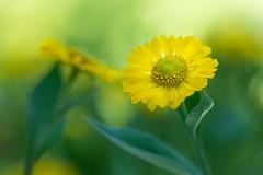 helenium 4079 (junjiaoyama) Tags: japan flower plant yellow summer bokeh macro helenium