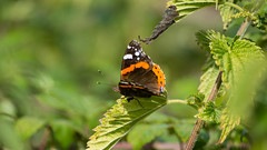 Red admiral poised on nettle leaf (Dave_A_2007) Tags: nymphalidae vanessaatalanta butterfly fourfootedbutterfly insect nature redadmiralbutterfly wildlife stratfordonavondistrict warwickshire england