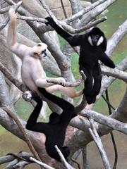 Brookfield, IL, Brookfield Zoo, Tropic World, Gibbon Trio (Mary Warren 11.2+ Million Views) Tags: brookfieldil brookfieldzoo fauna animal mammal monkey