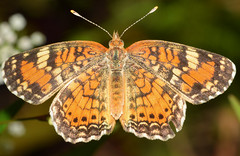 Pearl Crescent Butterfly (Larah McElroy) Tags: photograph photography picture pictures larah mcelroy larahmcelroy bug bugs insect insects butterfly butterflies macro pearl pearlcrescent pearlcrescentbutterfly