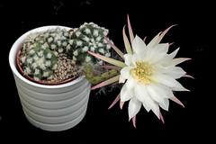 Blooming Easter Lily Cactus. (Daantje1704) Tags: cactus blooming plant nature flower special bloei cactusinbloei bloem macro echinops easterlily cacti nightblooming flickr nikon flores cactu