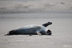 phoque veau marin-0014_signée (philph0t0) Tags: phoque seal océan eau animal plage mer pinipede mammifère veaumarin veau marinharbor sealharbour sealphoca vitulinacommon
