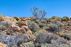 Rocks and bushes (Tambako the Jaguar) Tags: mount teide mountain volcano desert sky hot bushes plants rocks stones landscape view scenery tenerife spain nikon d5