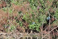 Kingfisher Family (NTG842) Tags: kingfisher reddish vale country park stockport cheshire wildlife birds