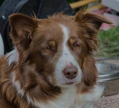 Portrait of a dog (frankmh) Tags: animal dog portrait sofiero helsingborg skåne sweden