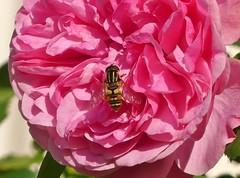 Die Rose gilt als Inbegriff der Schönheit  HMM (BrigitteE1) Tags: macromondays definingbeauty rose bug macro rosa pink insekt schwebfliege insect beautiful hoverfly flowerfly green makro flower blume blüte blossom specanimal hmm