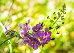 purple wild flower - Primorski, Bulgaria 2 (Russell Scott Images) Tags: primorski primorsko blacksea bulgaria wildflowers purple