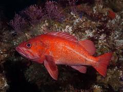 Sebastes miniatus (Vermilion rockfish) - Olympus E-520 - Zuiko 14-42mm f/3.5-5.6 (divewizard) Tags: olympus e520 olympuse520 dslr 1442mm f3556 zuiko zuiko1442mmf3556 1442mmf3556 zd pte05 athena opdsz1442 dome domeport inon z240 sutilisland santabarbaraisland venturacounty california channelislandsnationalpark channelislands island pacific ocean sea underwater marine coldwater scuba dive diving chrisgrossman sebastesminiatus vermilionrockfish redfish rockcod redrockcod fish rockfish red vermillion sebastes tasty reef rockyreef calliarthrontuberculosum articulatedcorallinealgae coralline algae redalgae purpleseaweed seaweed