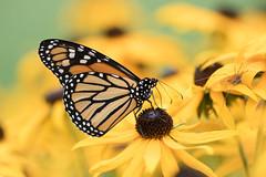 Door County Monarch - Explored! (MichellePhotos2) Tags: door county monarch blackeyedsusan yellow butterfly butterflies doorcounty wisconsin summer insect nikon d850 nikond850 macro 150mm prime flower flora garden