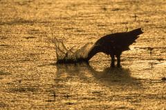 Little Blue Heron Fishing During a Rainy Sunset (dbadair) Tags: outdoor seaside shore sea sky water nature wildlife 7dm2 ocean canon florida ft desoto sun sunset dusk evening twilight
