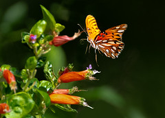 And we have lift off!!! (Patricia Ware) Tags: agraulisvanillae butterflyinflight california canon ef400mmf4doisiiusmlens gulffritillary handheld ©2018patriciawareallrightsreserved palosverdespeninsula unitedstates us specanimal