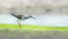 Mouthfull (rmikulec) Tags: birding yellowlegs lesser migration shorebird animal wild wildlife nature pajaro uccello narura animale