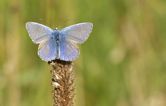 CommonBlue (Tony Tooth) Tags: nikon d7100 nikkor 105mm butterfly commonblue polyommatusicarus manifoldvalley ecton staffs staffordshire wildlife insect