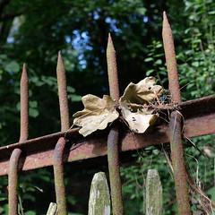 oak leaves (bejem) Tags: fence iron leaves oak chestnut bramble