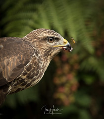 Common Buzzard (Ian howells wildlife photography) Tags: birdofprey buzzard ianhowells ianhowellswildlifephotography nature naturephotography nationalgeographic canon canonuk wildlife wildlifephotography wales wild wildbird wasp bbcspringwatch