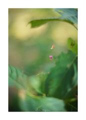 2018/8/4 - 6/12 photo by shin ikegami. - SONY ILCE‑7M2 / 七工匠  7artisans 50mm f1.1 (shin ikegami) Tags: 百日紅 紫陽花 macro マクロ flower 花 井の頭公園 吉祥寺 summer 夏 asia sony ilce7m2 sonyilce7m2 a7ii 50mm 七工匠 7artisans 7artisans50mmf11 tokyo photo photographer 単焦点 iso800 ndfilter light shadow 自然 nature 玉ボケ bokeh depthoffield naturephotography art photography japan earth