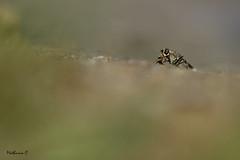 En plein repas - Lispe sp. (Mathurin C) Tags: diptere diptera predateur macro macrodreams insecte insectes insecta loire sable bourgogne nievre réserve naturelle nationale val mouche lispe