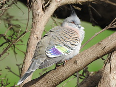 Crested Pigeon near Mortlake (Kerry Vickers) Tags: birds pigeons southwestvictoria