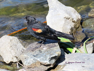 Red-winged Blackbird (Agelaius phoeniceus)(Immature male)