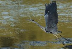 Heron in sunset (Ann and Chris) Tags: heron sunset nature avian bird takeoff wildlife wings