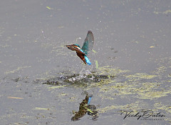 Kingfisher flying out of the water with an insect (vickyouten) Tags: kingfisher kingfisherflying nature wildlife penningtonflash leigh canon canon1300d vickyouten