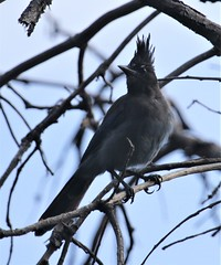 Steller's Jay [Interior] (Cyanocitta stelleri [diademata Group]) 08-02-2018 Upper Hunter Canyon Trail, Cochise Co. AZ 5 (Birder20714) Tags: birds arizona jays corvidae cyanocitta stelleri macrolopha