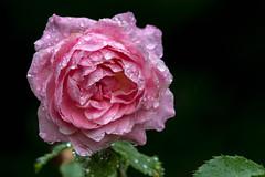 Florence Storm Drops (Jon Ariel) Tags: state botanical garden georgia statebotanicalgardensofgeorgia flower rain water athens ga northgeorgia