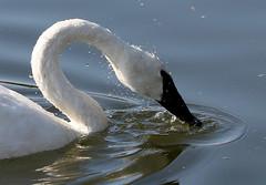 Trumpeter Swan (Jewill16) Tags: reifel swan bird
