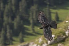 Chough in flight (Stefsan (on and off)) Tags: alpendohle alpinechough pyrrhocoraxgraculus bird birdinflight bif animal wildlife nature canon eos 7d stefsan ©stefansandmeier