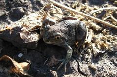A small earth toad. (ALEKSANDR RYBAK) Tags: жаба земляная маленькая макро крупный план природа поле трава детально земля солнечный свет тени животные земноводные toad earthen petite macro large plan nature field grass detail earth solar shine shadows animals amphibians animal