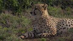 Gracious in the morning sun (Coisroux) Tags: d5500 nikond cheetah kwandwe bushveld safari