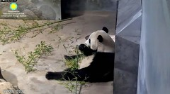 2018_08-19a (gkoo19681) Tags: beibei chubbycubby fuzzywuzzy adorableears feetsies bootime loungeprince sofluffy comfy brighteyed toocute beingadorable precious amazing meltinghearts contentment ccncby nationalzoo