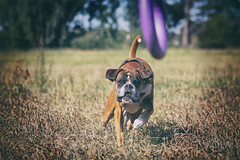 34/52 today in the midday sun (Kerstin Mielke) Tags: kurt 52weeksfordogs boxerdog playing sun